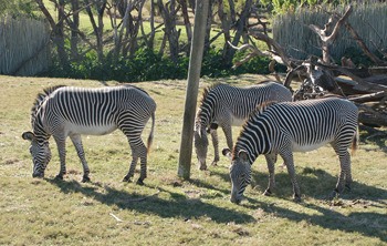 serengetizebra
